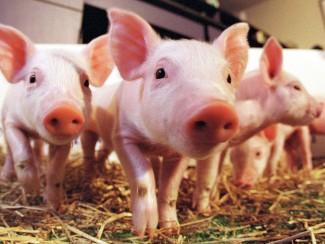 pigs09y86756787